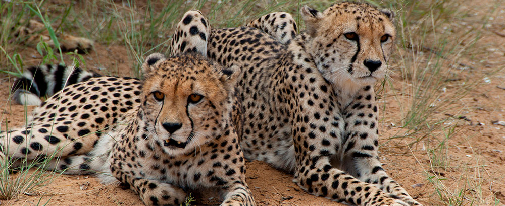 PageLines-cheetah-wildlife-centre.jpg