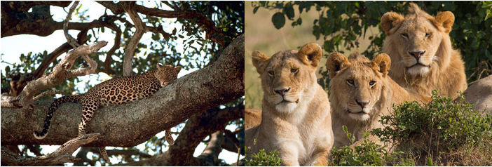 Big Cats of the wild